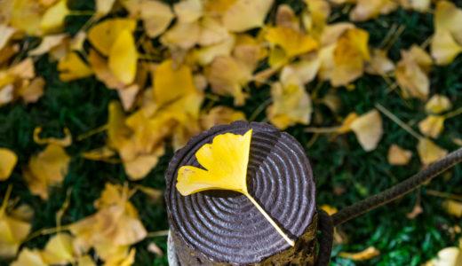 紅葉の見頃 外苑いちょう並木