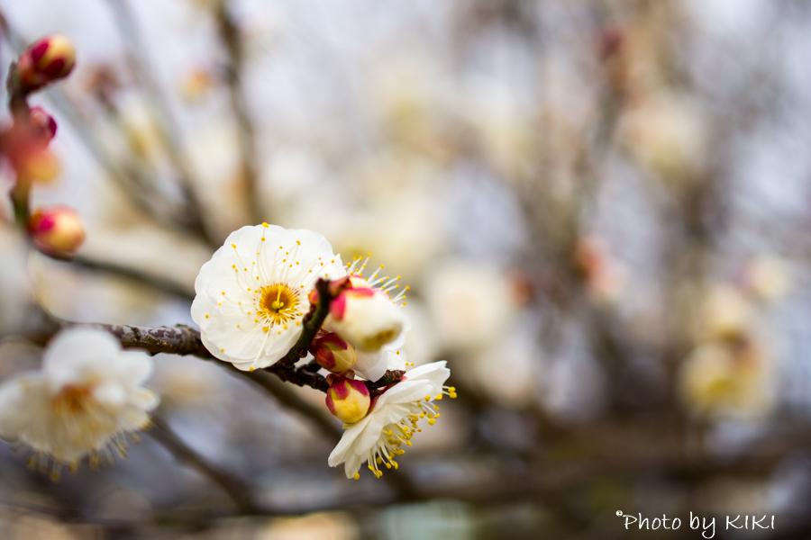 そろそろ梅の季節 NikonD7200で撮影