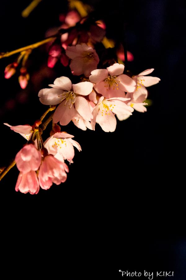 夜の六義園しだれ桜を撮影