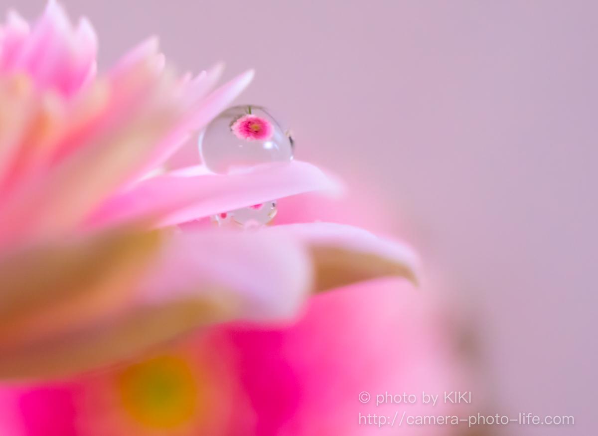 ニコンD7200 花びらに雫をのせて撮影してみました