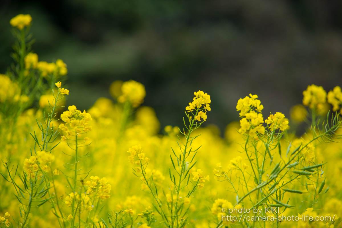 菜の花満開 浜離宮恩賜庭園