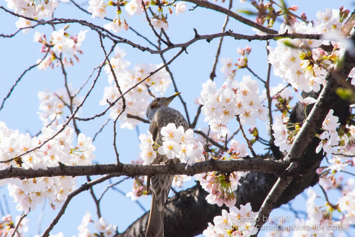 【ニコンD7200】上野恩賜公園 さくら満開