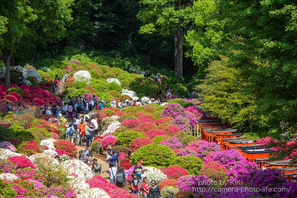 根津神社 満開のつつじを撮影してきました