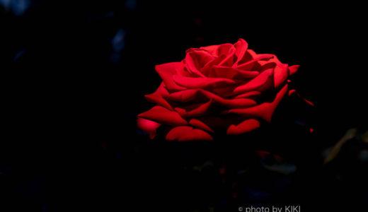 夜のライトアップ古河庭園にてバラ撮影に挑戦