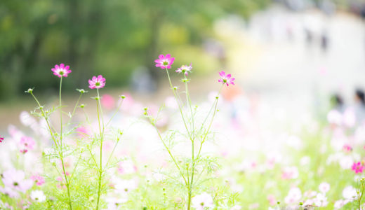 ニコンD850 コスモス満開 昭和記念公園